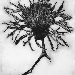 GREATER KNAPWEED CENTAUREA SCABIOSA, etching on paper, 78 x 118cm