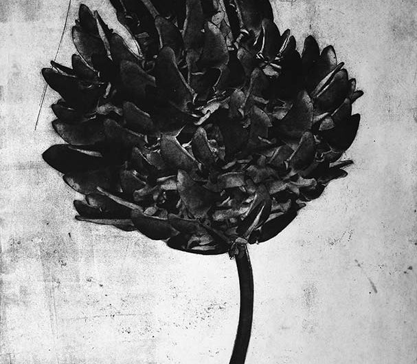 RED CLOVER TRIFOLIUM PRATENSE, etching on paper, 78 x 118cm
